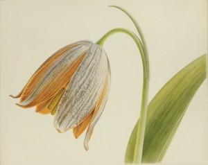 Fritillaria-Caucasica-1982_HJ